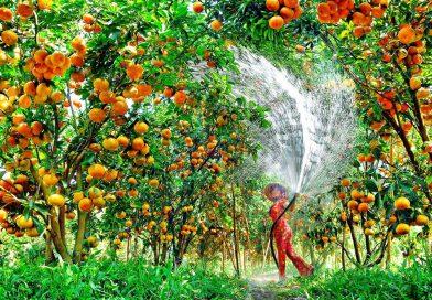 """Có điều gì tại vườn trái cây Mỹ Khánh mà khiến du khách """"đắm say"""" đến vậy?"""
