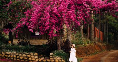 Thích thú trước giàn hoa giấy đẹp như mơ tại Đà Lạt